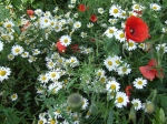 Ox-Eye Daisies & Poppies, June.08
