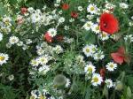 Ox-Eye Daisies & Poppies, June.08