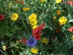 Corn Marigold, Cornflower & Poppies, June.08