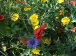 Corn Marigold, Cornflower & Poppies, June.08