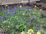 Tulipa sylvestris & Muscari,March.08