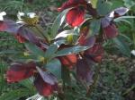 Lenton Rose/Helleborus Orientalis. March.08
