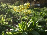 Cowslip/Primula veris. March.08