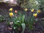 Daffs & a tulip, lower bbed, March.08