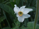 Poeticus Daffodil